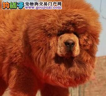 直销藏獒幼犬 实物拍摄直接视频 签订终身合同