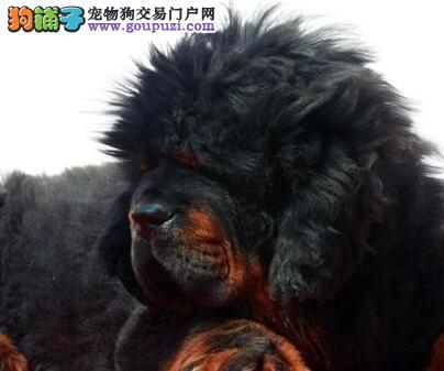 纯种藏獒热销中 狮王血系欢迎来南昌犬舍上门挑选议价3