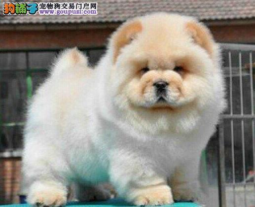 上海肥嘟嘟小松狮犬没人照顾松狮犬幼犬价格优惠转让