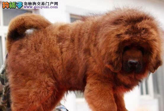 纯种藏獒热销中 狮王血系欢迎来南昌犬舍上门挑选议价1