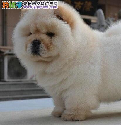 北京正规狗场繁殖纯种肉嘴松狮犬实物拍摄不纯包退换图片
