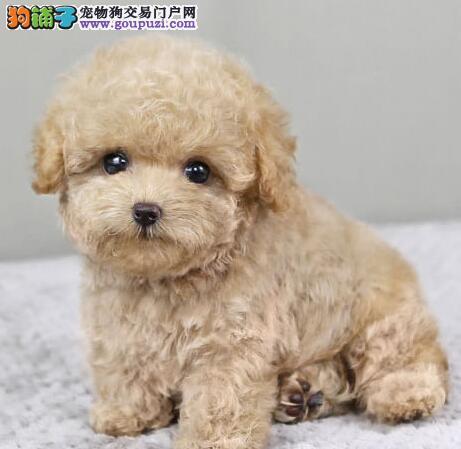 出售正宗优秀韩系血统拉萨泰迪犬 驱虫疫苗已做好
