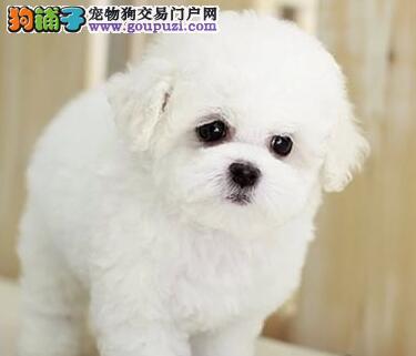 活泼可爱纯种比熊幼犬宝宝 血统纯正 毛量丰富