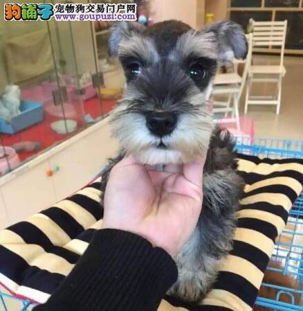 长胡子老头青岛雪纳瑞低价出售 爱狗人士优先选购2