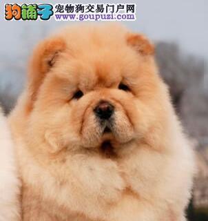 宝鸡犬舍热销高品质健康松狮犬购买可签订活体协议