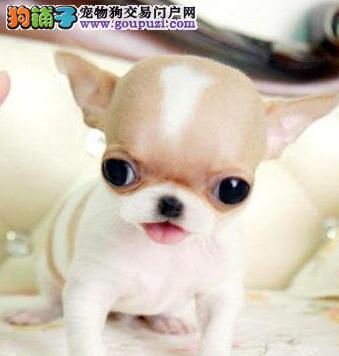 家养正宗大眼睛苹果头吉娃娃幼犬多只欢迎上门挑选狗狗