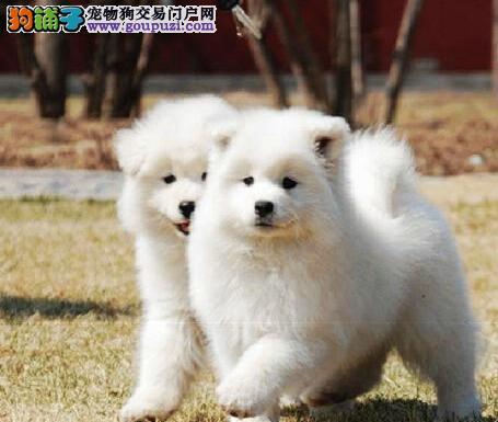 高端萨摩耶幼犬、假一赔十质量保障、等您接它回家2