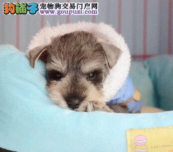 像小老头一样的海口雪纳瑞幼犬出售中 超低价超高品质