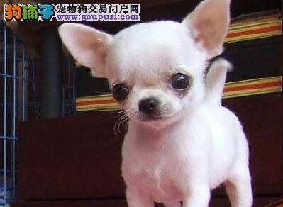 出售 可爱 酷似外星人的苹果头吉娃娃幼犬