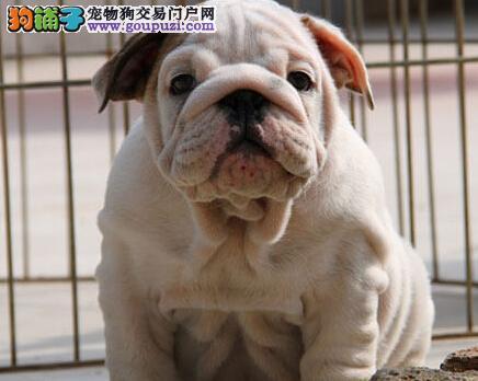 渝中售英国斗牛犬幼犬 英牛犬疫苗齐全可视频看狗