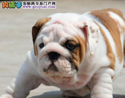 英国斗牛犬幼崽出售中 CKU认证绝对保障 签协议可送货