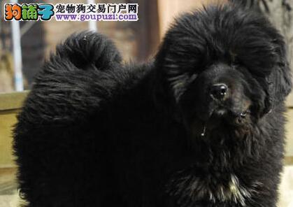 赛级血统大型藏獒幼犬大狮头 武汉专业销售 喜欢的来