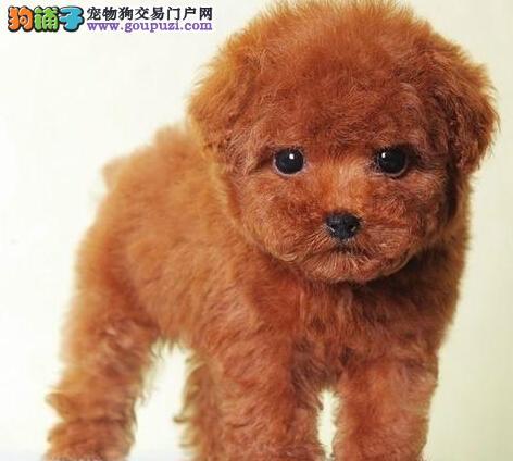 杭州家养精品茶杯犬玩具泰迪犬贵宾狗宠物狗包健康2