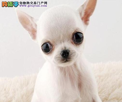 北海小体型吉娃娃幼犬繁殖出售欢迎上门挑选优质玩具犬