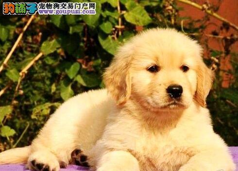 自家犬舍出售黄金大头金毛幼犬 签健康协议 送用品