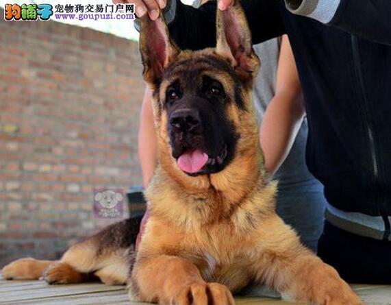 广州市售德国牧羊犬 德国狼犬 黑贝 狼狗 警犬