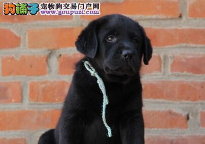 渭南纯种黑色米黄色拉布拉多犬出售 包健康纯种签协议