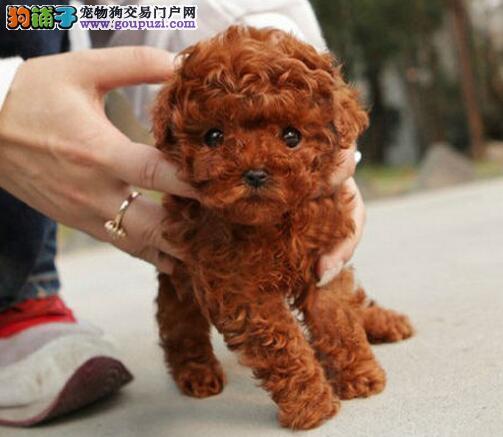 湘潭出售小体泰迪 颜色齐全健康品质泰迪熊放心喂养