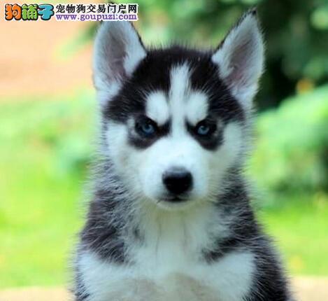 青岛出售哈士奇幼犬小哈二哈母狗西伯利亚雪橇犬