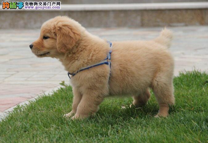 一只优秀的金毛犬性格与气质是怎样的