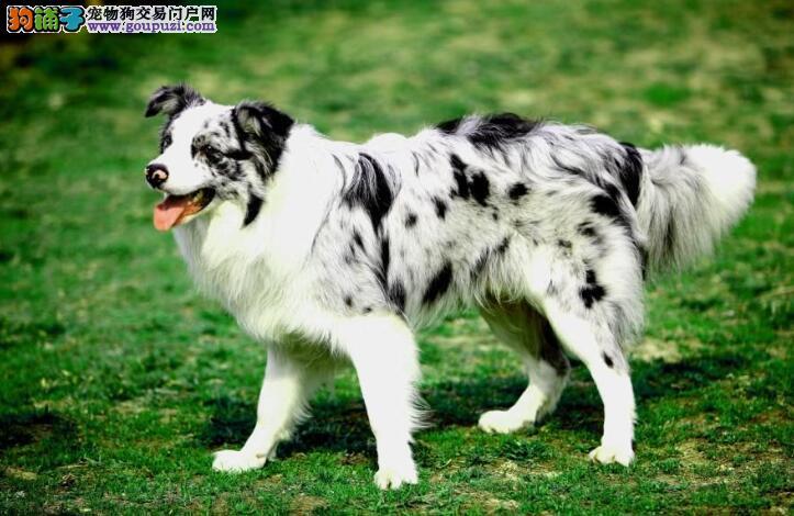 深度讲解边境牧羊犬的犬种特征