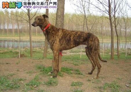 标准格力犬的犬种特点与失格的条件