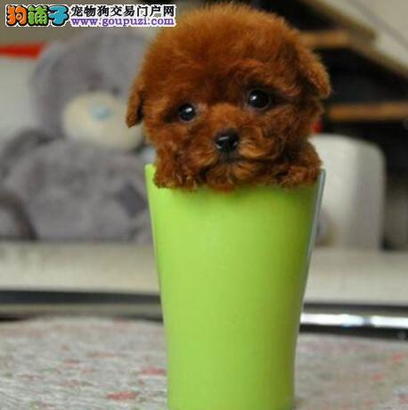 挑选优秀茶杯犬的正确方法之年龄与毛色
