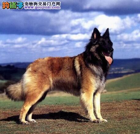 细致的挑选 狼狗的身材特征是怎样的