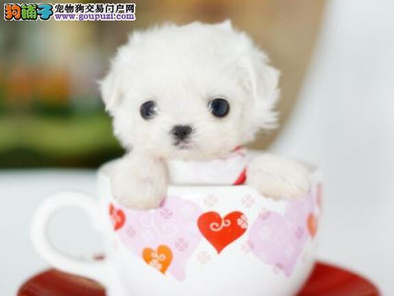 优秀茶杯犬的购买常识包括哪些内容