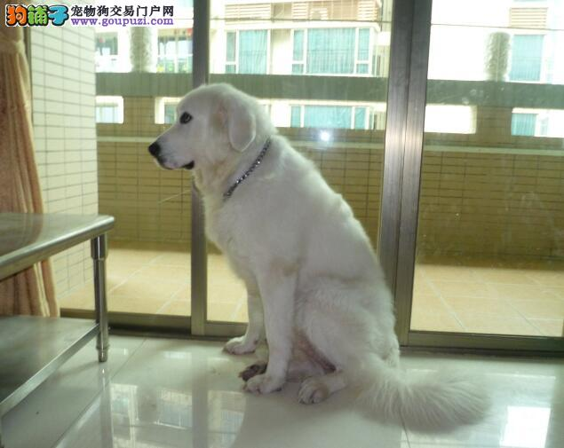 怎样判断大白熊犬的性格特征是否优秀