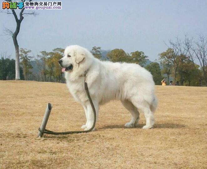 大白熊犬的体型基本特征与挑选原则