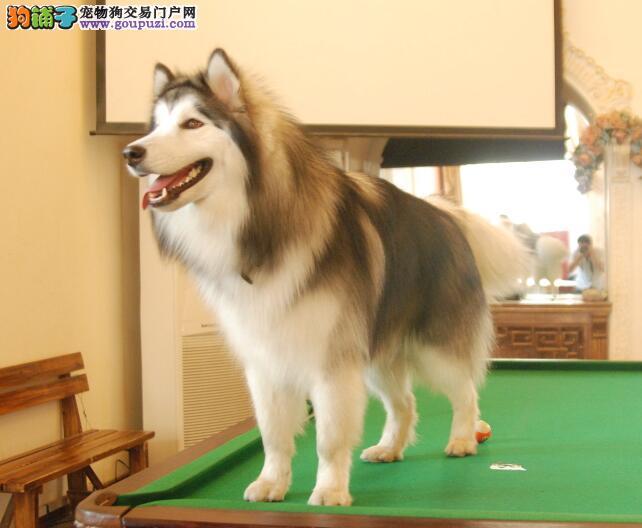辨别阿拉斯加雪橇犬与哈士奇的小方法