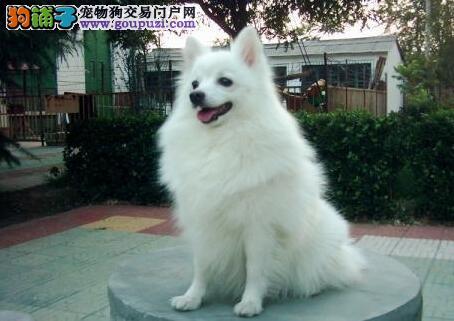 十个方面教你正确区分银狐犬与萨摩耶之间的不同
