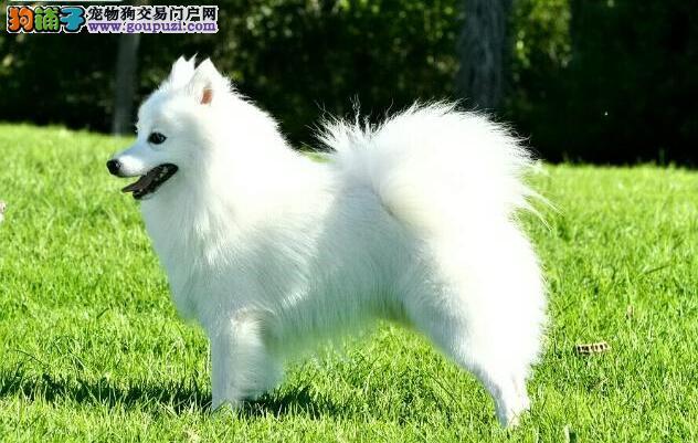 整理几点选购银狐犬的具体方法与原则