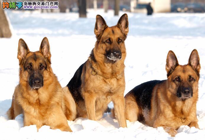 德国牧羊犬的犬种标准与判定的方法