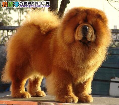 细致观察选好犬 初次选购松狮犬需要注意的几点知识