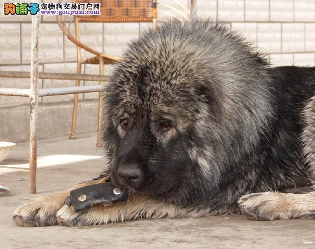 详细解说高加索犬的性格特征与犬种特点
