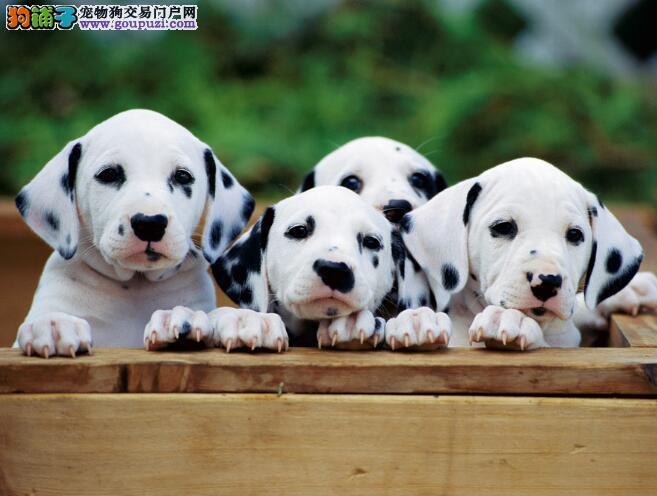 轻松挑选优秀斑点狗需要注意的几个方面