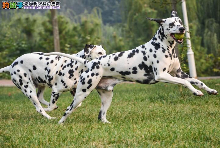 魅力狗狗 谈谈斑点狗的品种特征有哪些方面