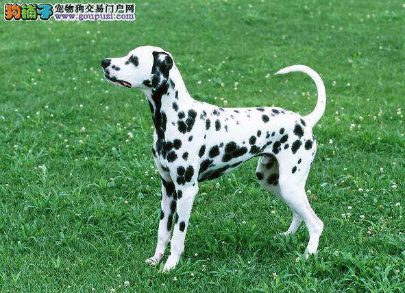 精选挑选常识 斑点狗的形态特征是怎样的