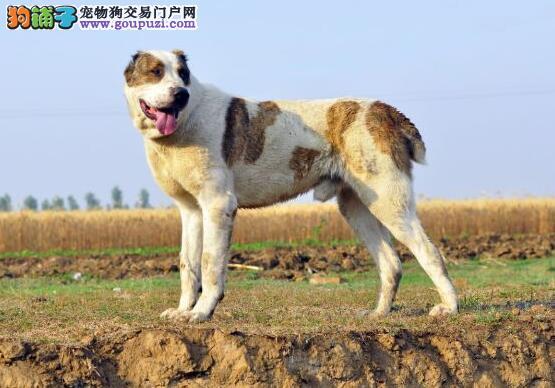 关注狗狗性格 挑选优秀中亚牧羊犬的基本方式