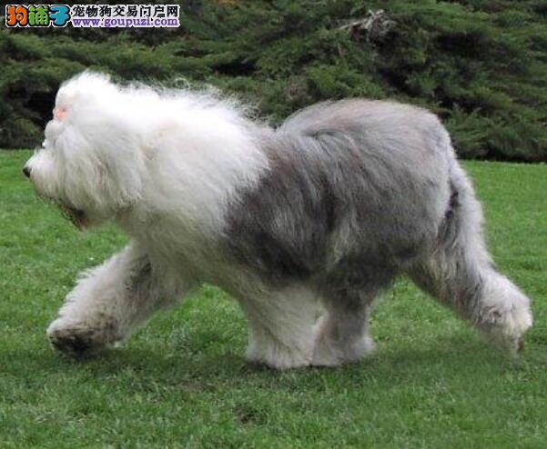 挑选优秀古代牧羊犬需要注意的细节问题