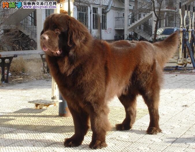 纽芬兰犬幼犬的特点与挑选要点