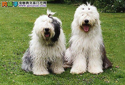 挑选方法集合 古代牧羊犬的品种特征