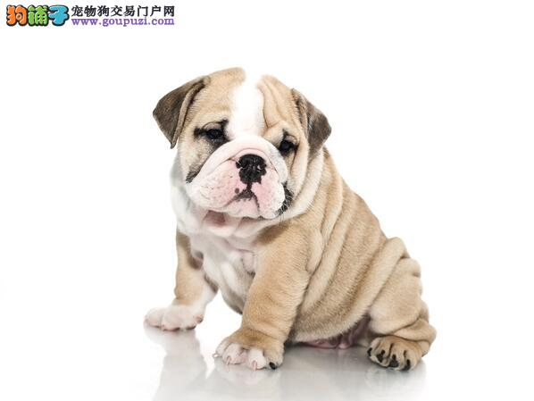 犬种起源与发展 沙皮狗的犬种特点与选购方法