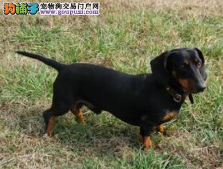 优秀腊肠犬的头部特点和失格表现