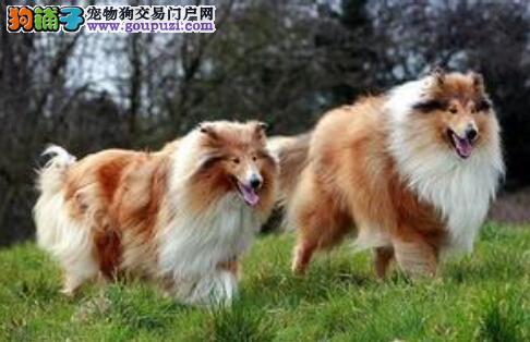 选狗详情 全解苏格兰牧羊犬的整体特征