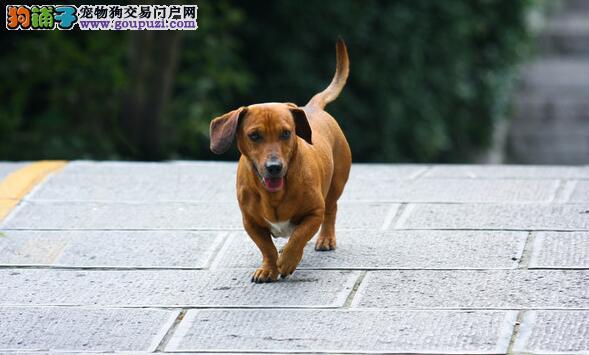 关注腊肠犬的形态特征 让你选购到优秀犬