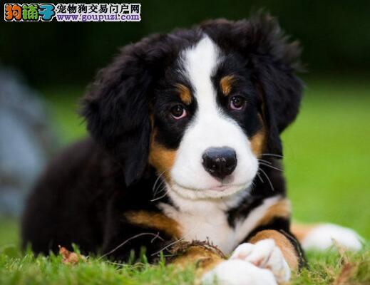 教你如何详细观察伯恩山犬的形态特征