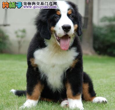 优秀伯恩山犬的基本特征与严重的缺陷
